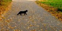 Черная кошка перебежала дорогу к удаче/ неудаче
